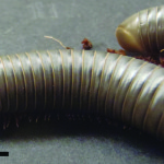 Florida Scrub Millipede
