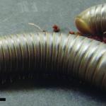 Florida Scrub Millipede